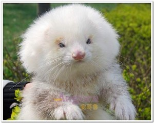 ferrets on steroids sold as toy poodles